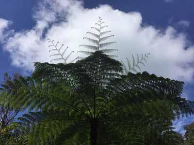 Beautiful tree fern